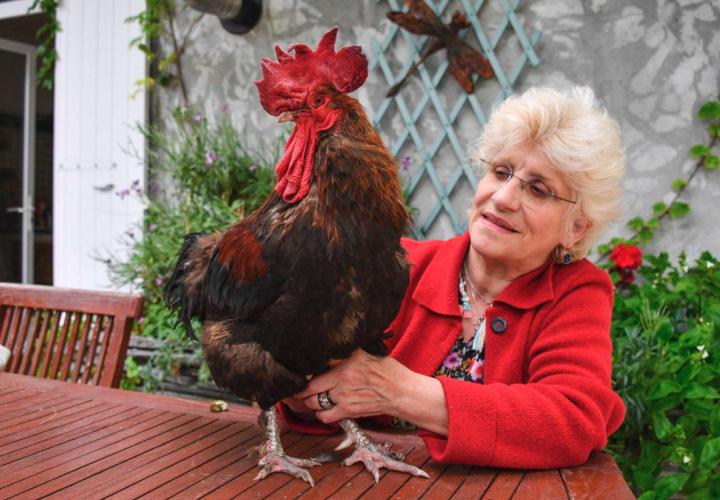 ¡Ayala vida! Juicio contra un gallo que cacaera mucho será en septiembre